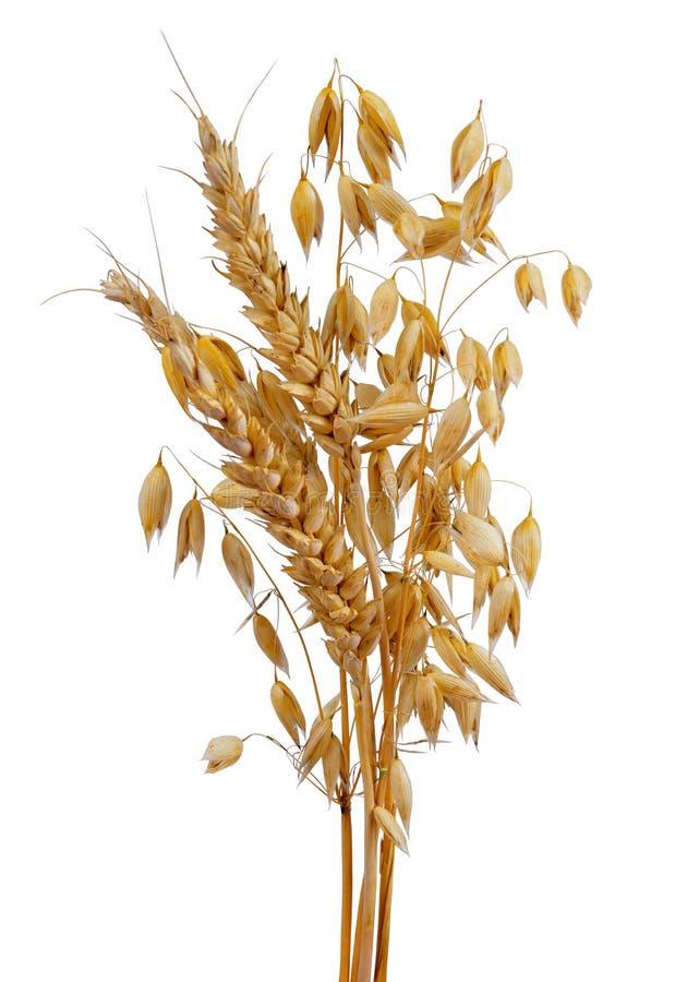 Hafer und Weizen lizenzfreies stockbild