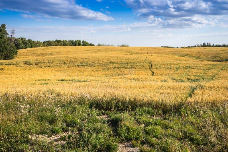 Haferfeld - ländliche Landschaft stockfoto