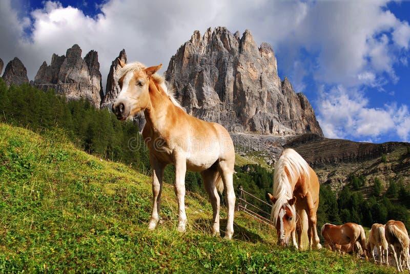 Haflinger de caballos imagen de archivo