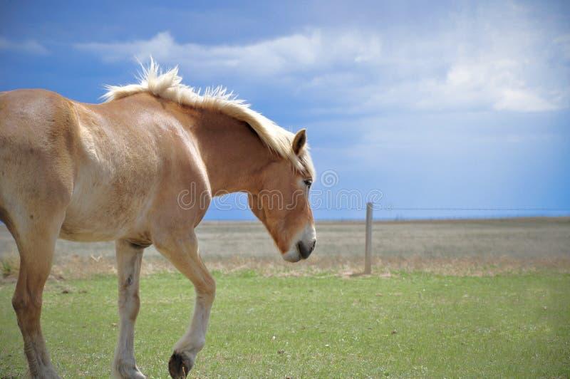 Haflinger häst som går i fält arkivfoto