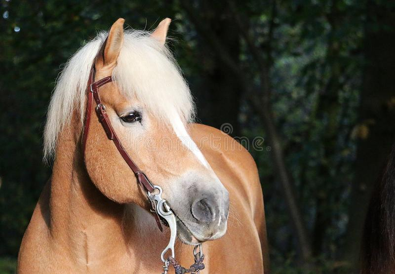 Haflinger horse head portrait in the forest. Beautiful haflinger horse head portrait in the autumn forest stock images