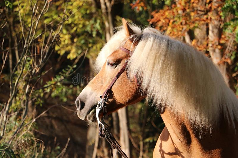 Haflinger horse head portrait in the forest. Beautiful haflinger horse head portrait in the autumn forest stock image