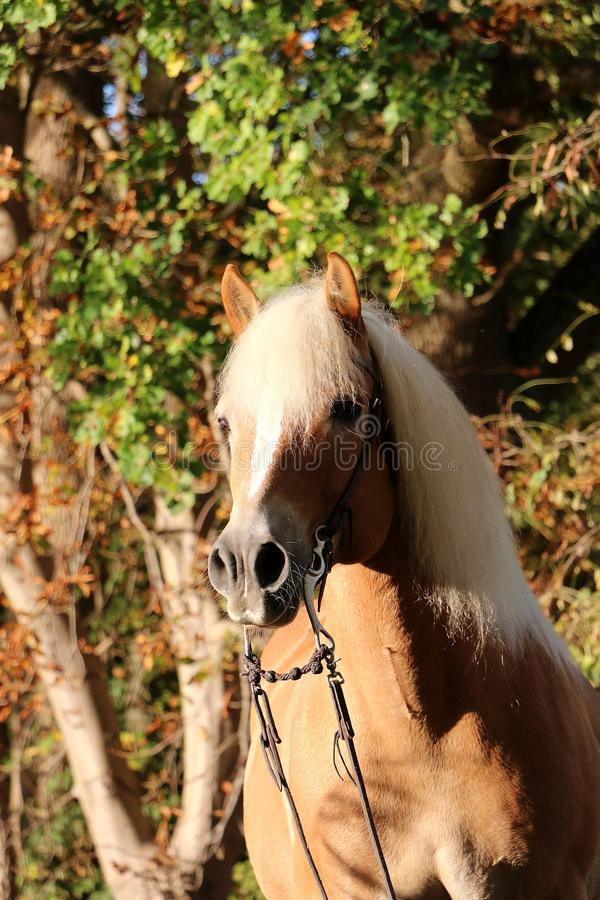 Haflinger horse head portrait in the forest. Beautiful haflinger horse head portrait in the autumn forest royalty free stock photo