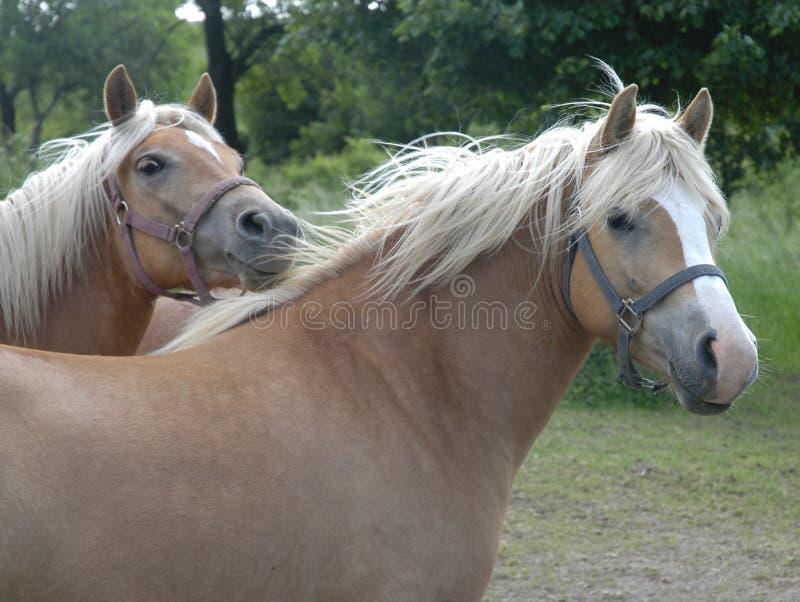 Download Haflinger horses IV stock photo. Image of land, cowboy - 165710