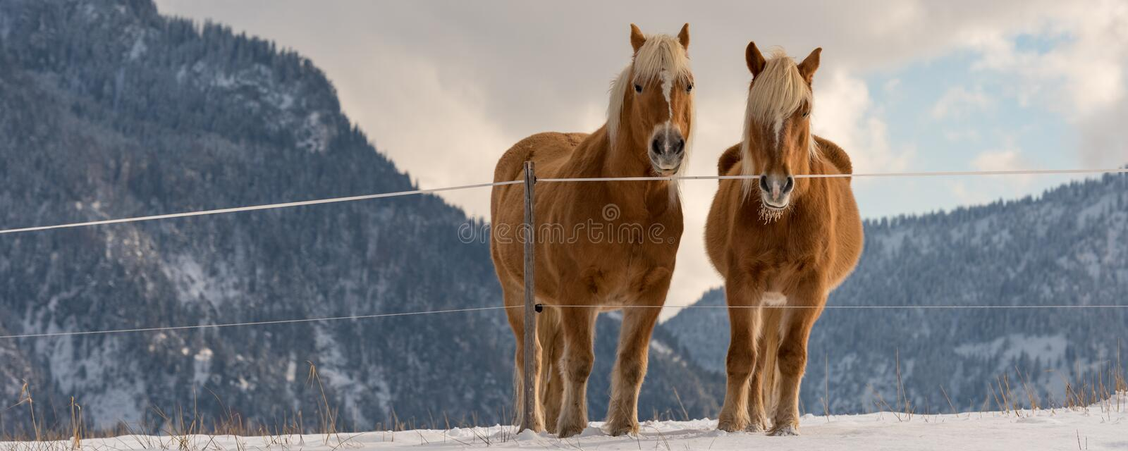 Two Haflinger horses on the winter meadow and mountain peaks on background royalty free stock photography