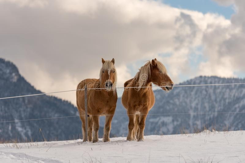Two Haflinger horses on the winter meadow and mountain peaks on background stock image