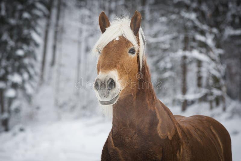 Haflinger im Schnee immagini stock libere da diritti
