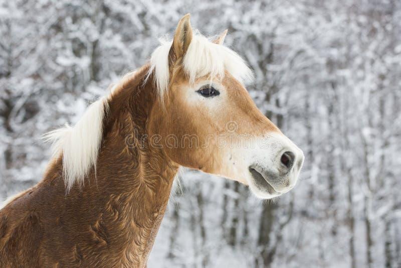 Haflinger im Schnee immagini stock