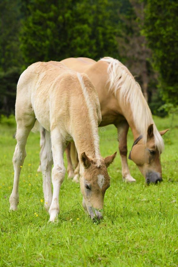 Haflinger koń z źrebięciem zdjęcie royalty free
