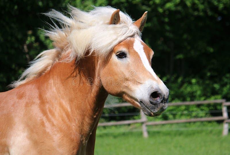 Haflinger końskiej głowy portret zdjęcie stock
