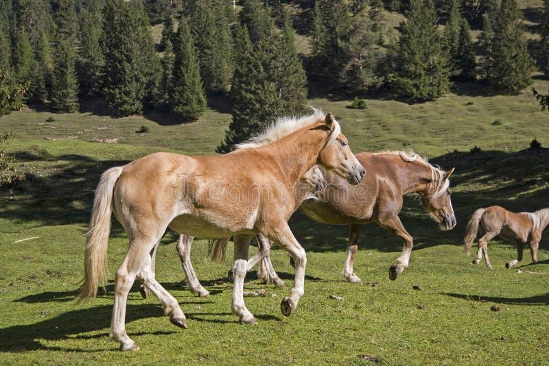 Haflinger konie na halnej łące zdjęcia royalty free