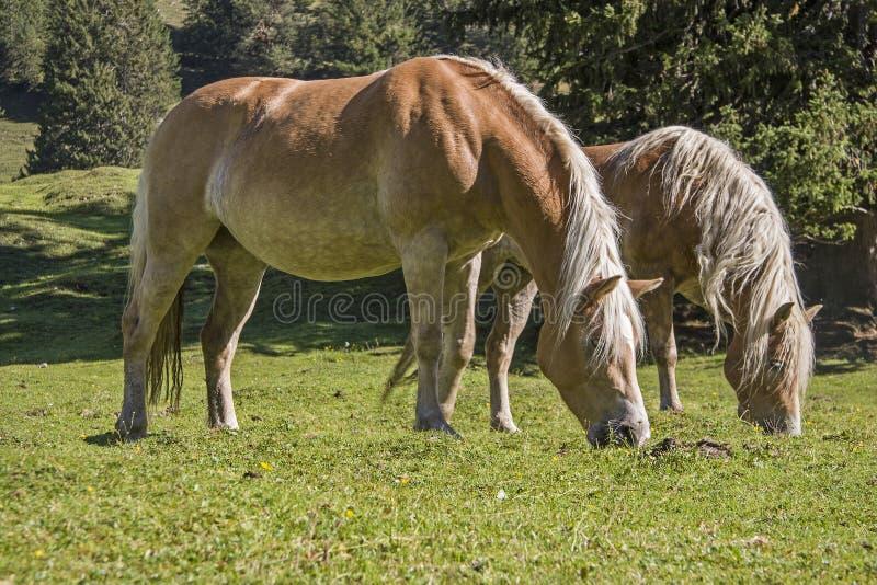 Haflinger konie na halnej ??ce zdjęcie stock
