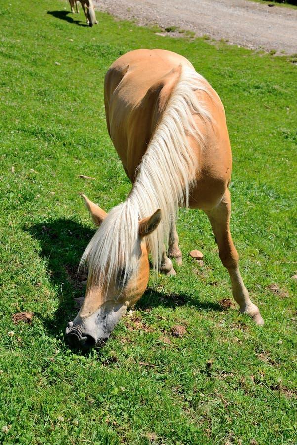 Haflinger-Pferd stockfoto