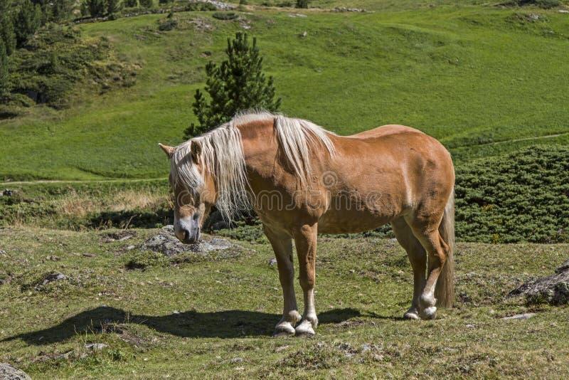 Haflinger Pferd lizenzfreie stockbilder