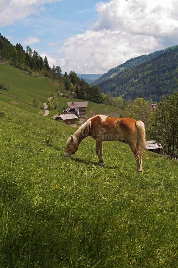 Haflinger Pferd, das in Alpes speist stockfoto