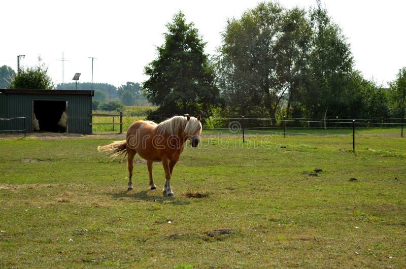 Haflinger-Pferd, das auf der Wiese weiden lässt lizenzfreies stockfoto