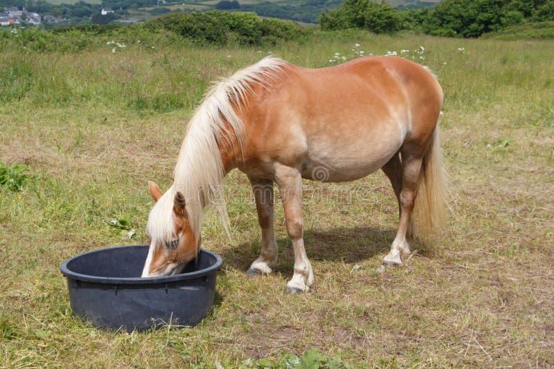 Haflinger ponny som dricker i en ho arkivbild