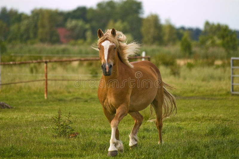 Download Haflinger Troting Across A Meadow Stock Photo - Image: 10137442
