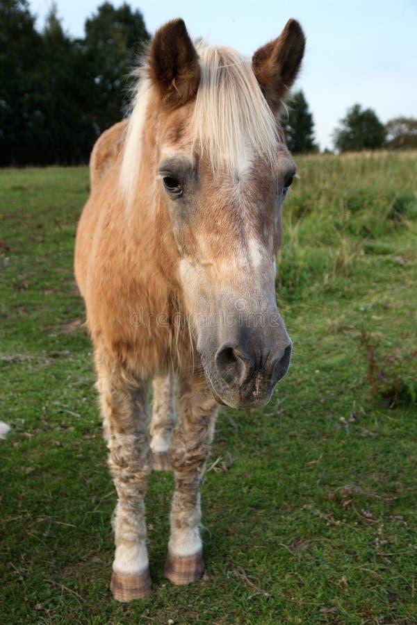 Haflinger velho, aposentado do cavalo no prado imagem de stock