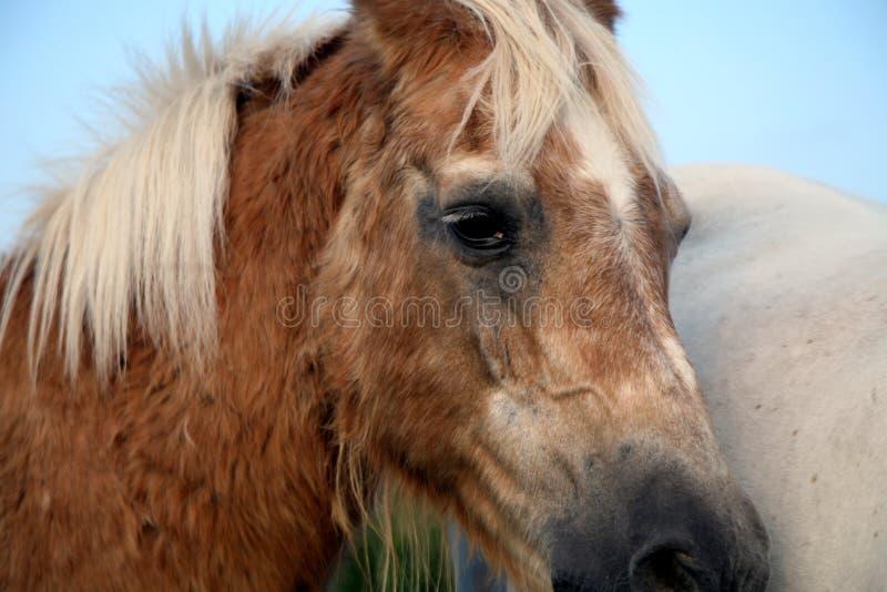Haflinger velho, aposentado do cavalo no prado imagens de stock royalty free