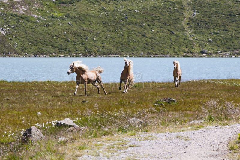 Haflingerpaarden in Oostenrijk stock foto's