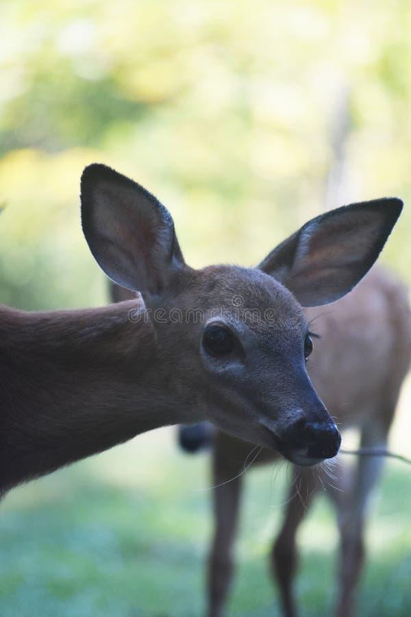 Haga frente a la foto de un ciervo joven en el salvaje foto de archivo libre de regalías