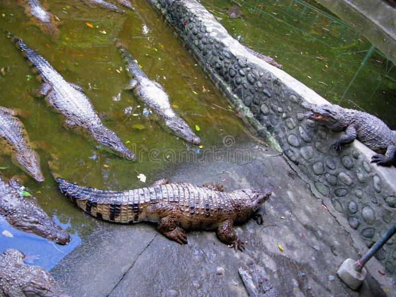 Haga la granja del cocodrilo grande una vez más safari de Zoobic, Subic Bay, Filipinas fotografía de archivo