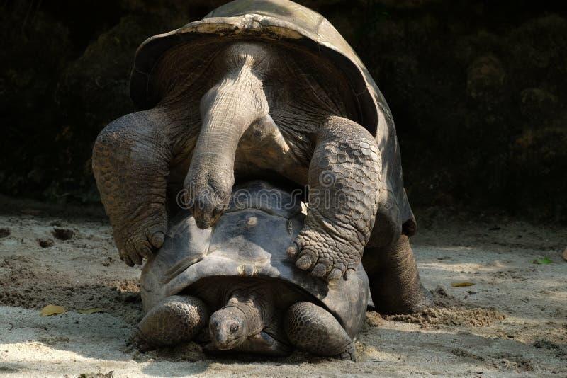 Haga la guerra del amor no - tortugas imagen de archivo