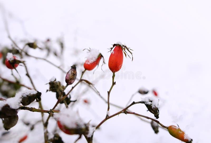 Hagebutte rotes berrys Niederlassungsbuschnahaufnahmenaturgartentagesschnee-Winterkühles wetter stockfoto
