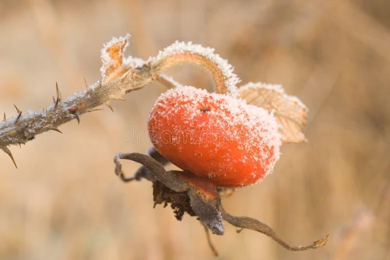 Hagebutte unter Frost stockbild