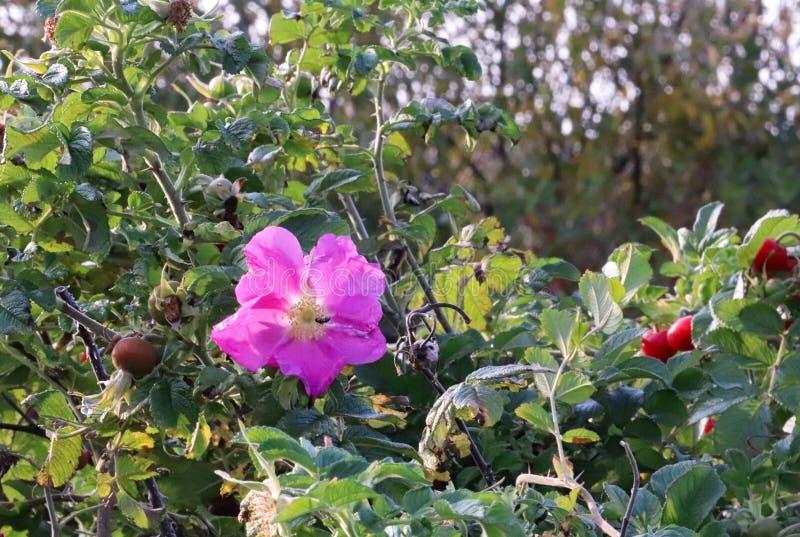 Hagebutteblumeherbstlächeln Eine schöne rosa Blume auf einer Frucht lizenzfreie stockfotos