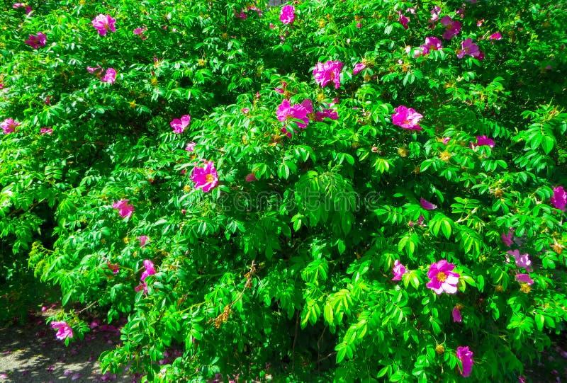 Hagebuttebusch gestreut mit rosa Blumen stockfotografie