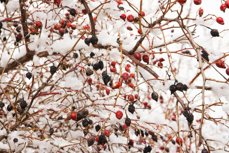 Hagebuttenbüsche mit Beeren im Schnee Konserviert von den Herbstbeeren auf einer Niederlassung Nach Winterschlaf lizenzfreies stockbild