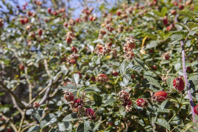 Hagebutteniederlassungen mit roten Früchten im Spätsommer lizenzfreie stockfotos