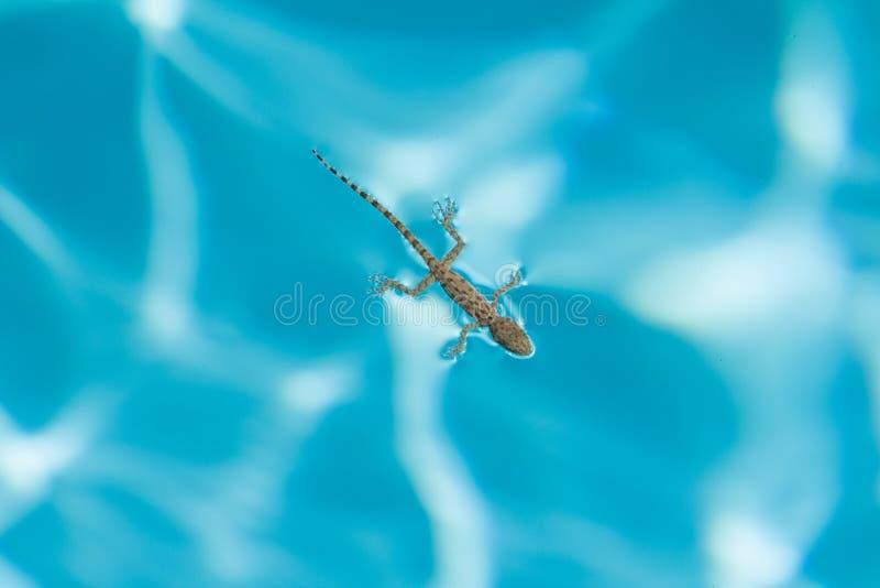Hagedis die in de blauwe poolmening vanaf de bovenkant als symbool van rust drijven stock foto