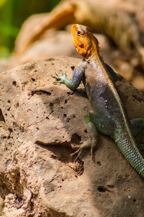 Hagedis geroepen agame kolonisten in de savanne van Amboseli-Park binnen stock afbeeldingen