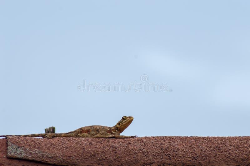 Hagedis geroepen agame kolonisten in de savanne van Amboseli-Park binnen stock fotografie