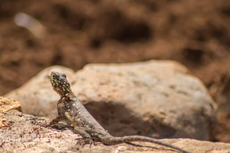 Hagedis geroepen agame kolonisten in de savanne van Amboseli-Park binnen stock foto's
