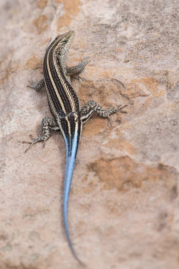 Hagedis met een lange blauwe staart die op bruine rots rusten stock foto's