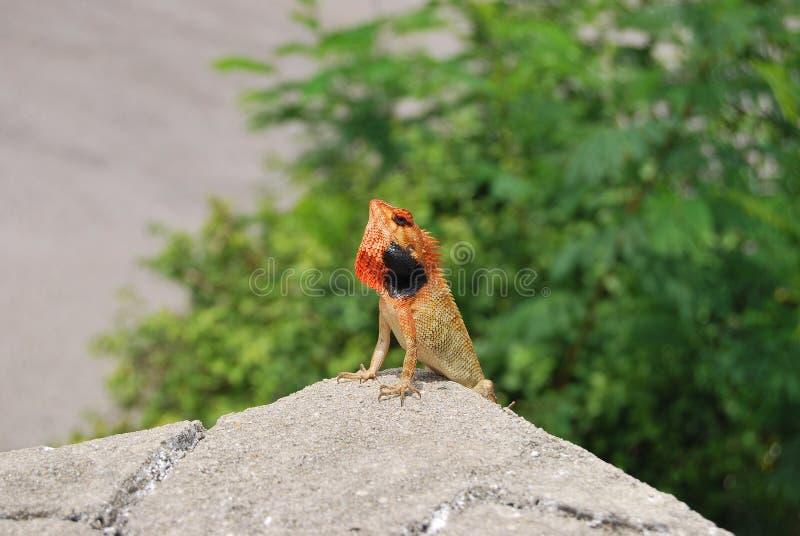 Hagedis op de rots in Phuket stock fotografie
