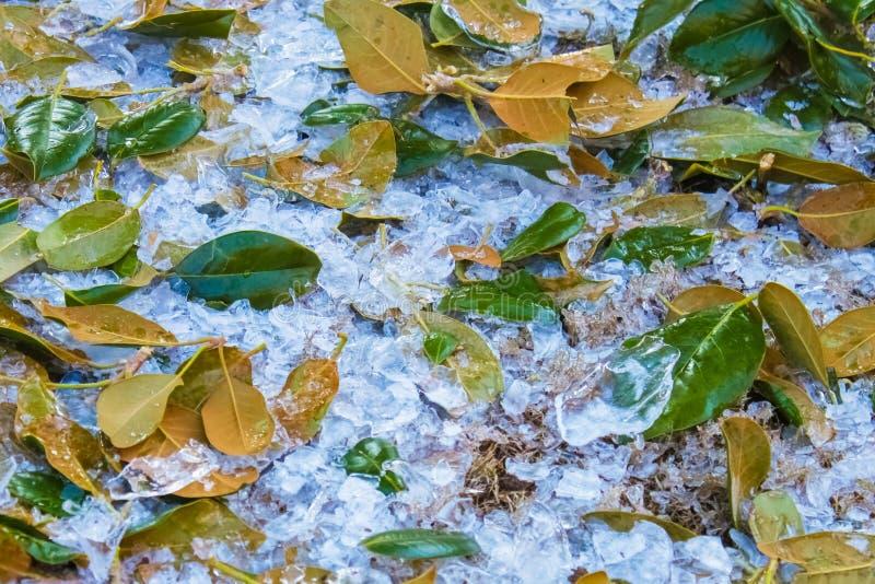 Hagel aus den Grund, der mit grünen Magnolienblättern hat es vermischt wird, weg den Baum geklopft lizenzfreies stockbild