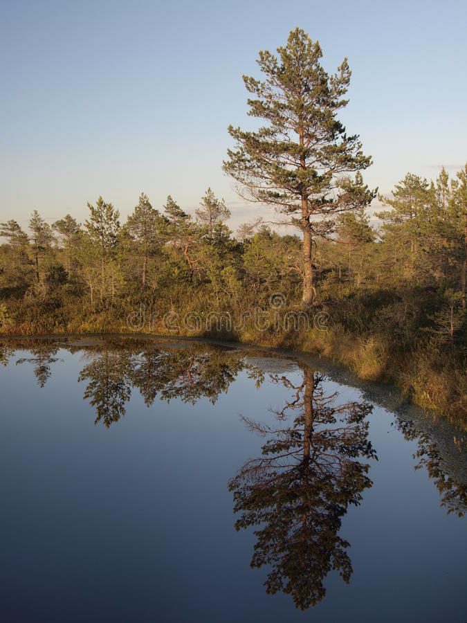 Download Hags in a marsh stock photo. Image of tree, scenery, wilderness - 11138364
