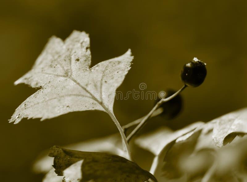 Hagtornbär. royaltyfri bild