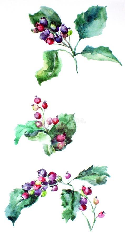 Hagtornbärvattenfärg royaltyfri foto