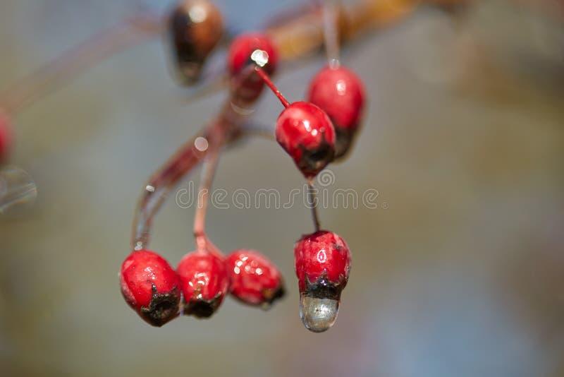 Hagtornfrukter med is på dem royaltyfria bilder
