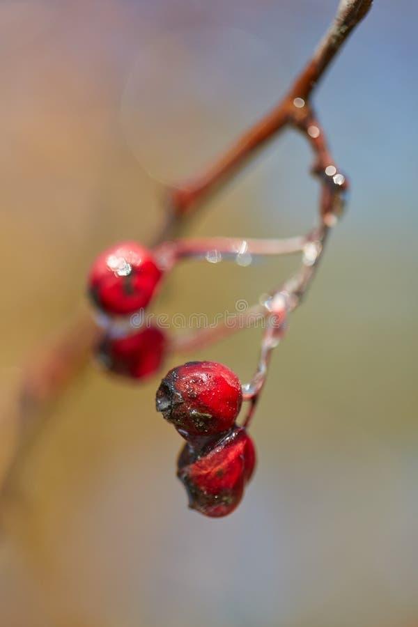 Hagtornfrukter med is på dem royaltyfri fotografi