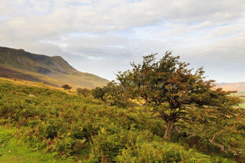 Hagtornträd på Cadair Idris royaltyfri fotografi
