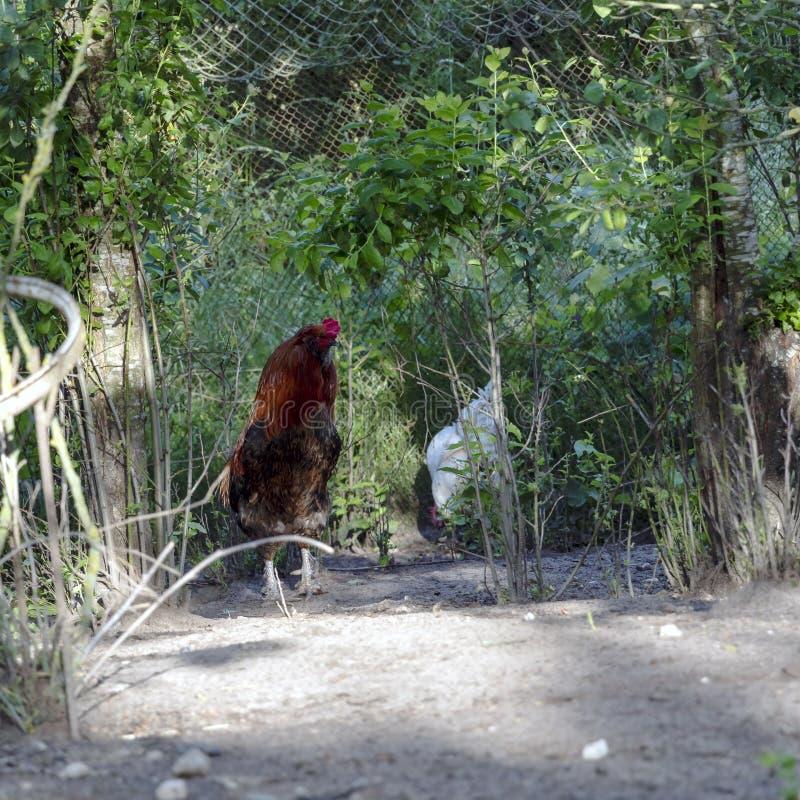 Hahn, alias ein junger Hahn oder ein Hahn, ein erwachsenes männliches Huhn in der Freiland-Geflügelfarm lizenzfreies stockbild