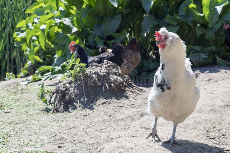 Hahn, alias ein junger Hahn oder ein Hahn, ein erwachsenes männliches Huhn in der Freiland-Geflügelfarm stockbild