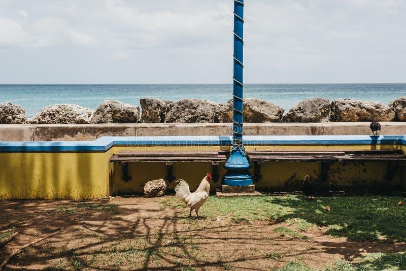 Hahn, der durch das Meer in Speightstown, Barbados geht lizenzfreies stockfoto